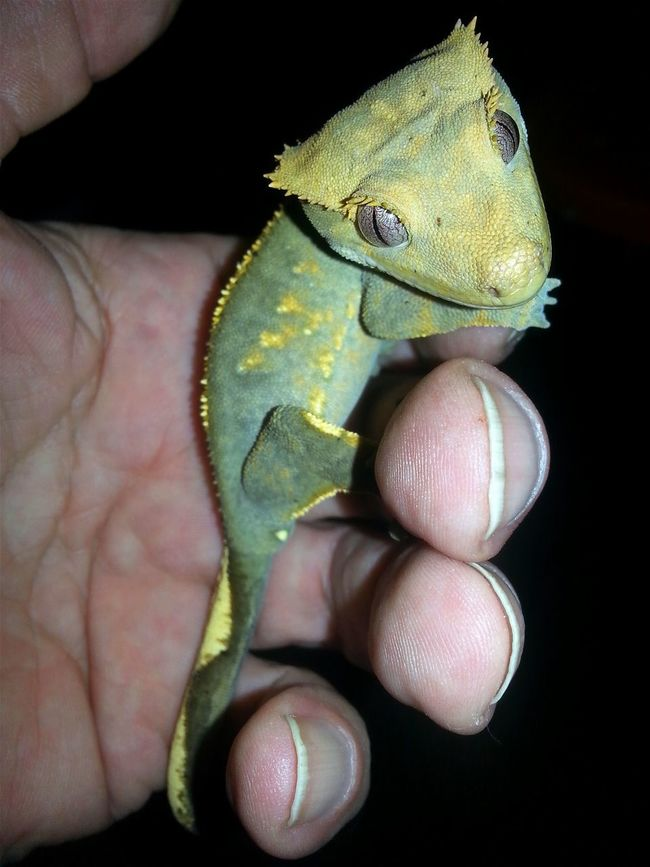 Crested Crested Gecko Jurassic World Of Dino's Dino's Photography Jurassic Studio God's Beauty Exotic Special_shots Reptile Real Life Jurassic World Jurassic Land Gecko Art Special Shot GECKOzilla Exotic Animals Gecko Love Finger Close-up Indoors  Nature Exotic Creatures Human Hand Especially Reptile