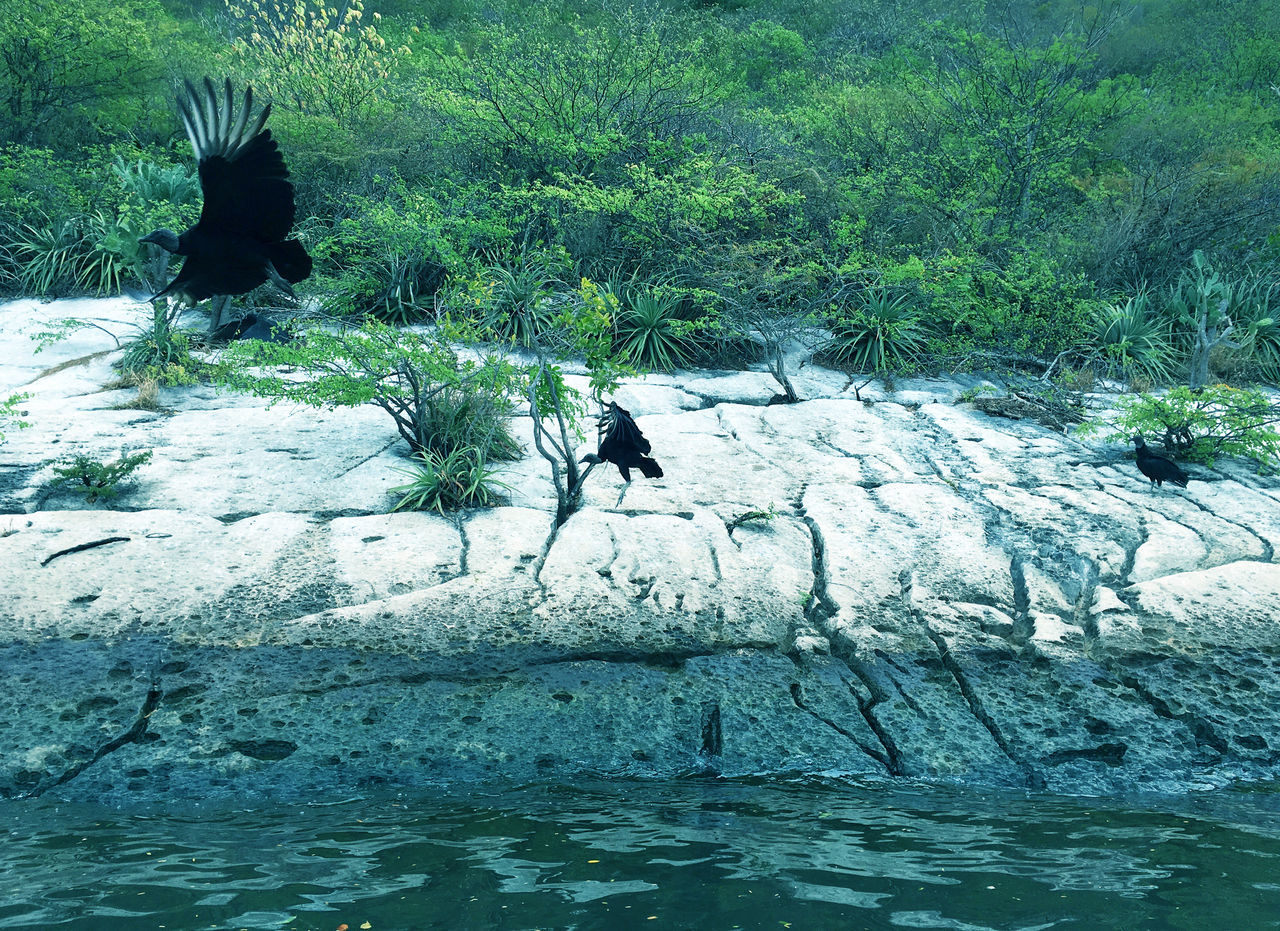 Turkey vultures relaxing on a river rock in Mexico Animal Themes Animal Wildlife Animals In The Wild Bird Bird In Flight Birds In Wild Black Vultures Buzzard  Chiapas, México Day Mexico River Nature No People Outdoors River Trip Riverbank Mexico Riverscape Rock - Object Small Trees Turkey Vultures Vulture Colony Vultures Water Wildlife Wings