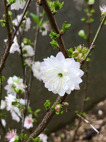 White Color Flower Fragility Petal Growth Flower Head Nature Day Freshness Branch Close-up Springtime Blooming Beauty In Nature No People