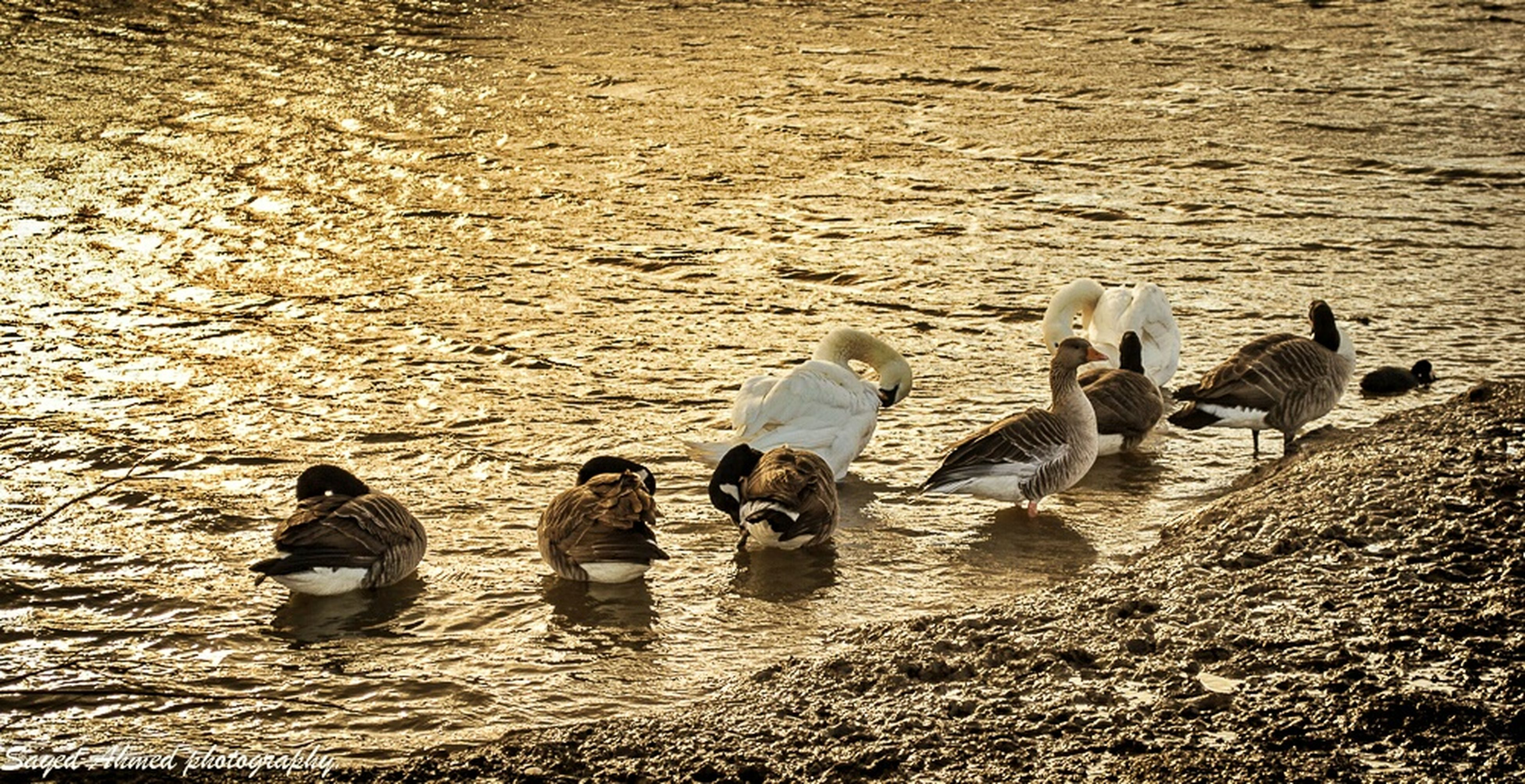 animal themes, water, bird, animals in the wild, duck, high angle view, wildlife, swimming, lake, togetherness, waterfront, rippled, medium group of animals, nature, day, outdoors, reflection, animal family, two animals