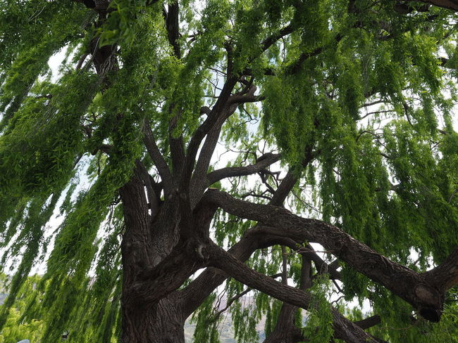 Beauty In Nature Branch Green Color Growth Low Angle View Nature Tree Tree Trunk