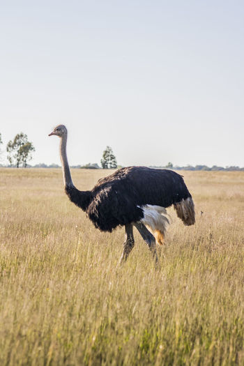 Africa Animal Themes Animal Wildlife Animals In The Wild Beauty In Nature Bird Day Grass Nature Nature No People One Animal Ostrich Outdoors Wildlife