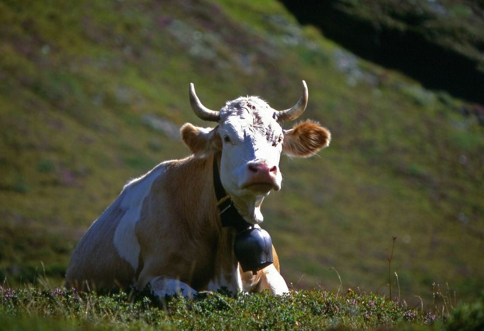 Beautiful stock photos of cow, Animal Themes, Cow, Cow Bell, Day
