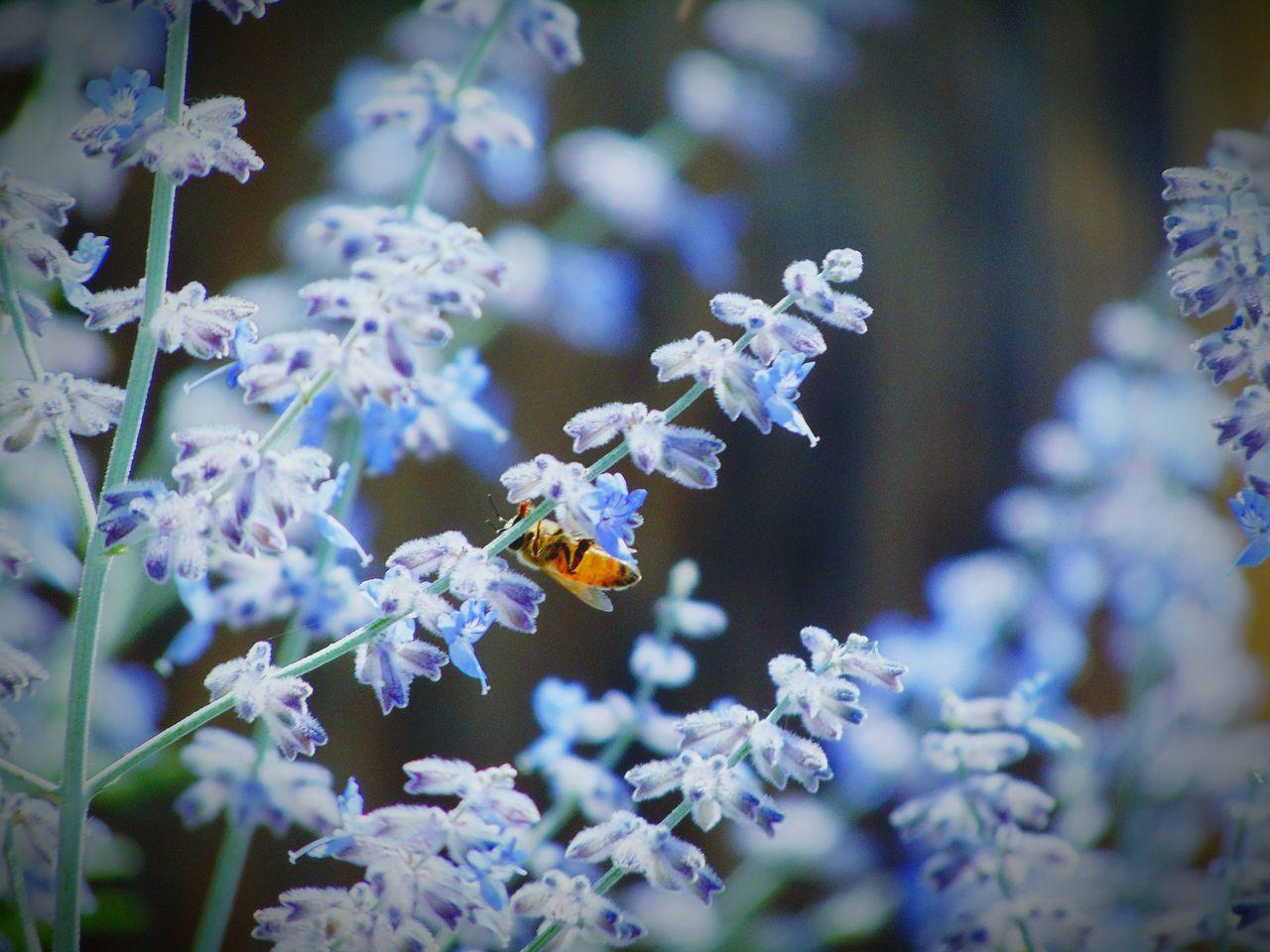 Honey Bee On Lavenders