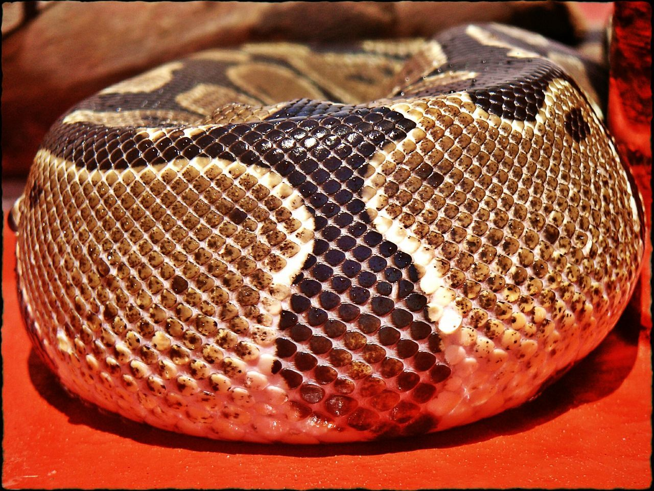 Living with a snake Freshness Table Indoors  Close-up No People Day Snake Animal Pattern Patterns In Nature Red Color Brown Color Animal Photography Animal Body Part Drops Phython Animals In Captivity Animal Themes Curves And Lines