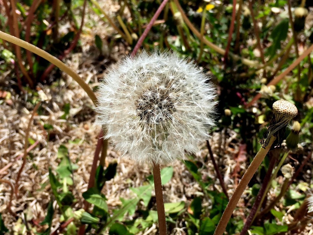flower, nature, growth, dandelion, fragility, plant, uncultivated, flower head, wildflower, beauty in nature, seed, close-up, freshness, day, outdoors, no people
