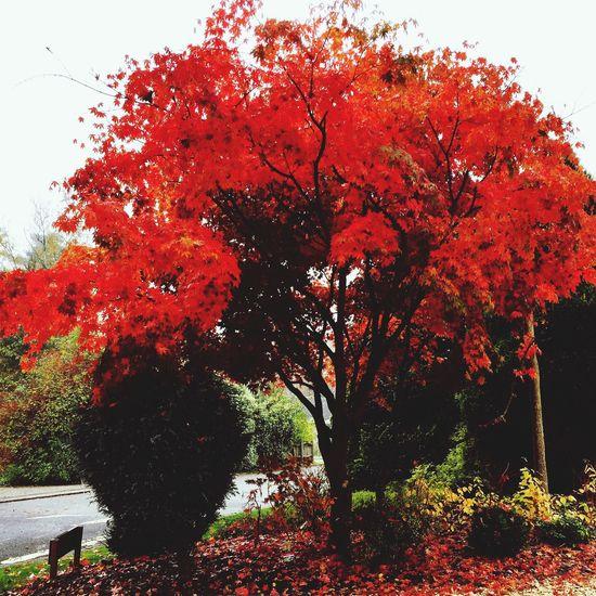 Autumn Colors colours of Autumn Autumnleaves #tree Acer Japanesemaple