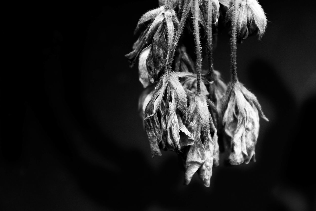 Black And White Black And White Plants Black Background Blackandwhite Botany Close-up Dead Flower Dead Plant Detail Floral Flower Fragility Nature No People Petal Plant Softness Wilted Plant