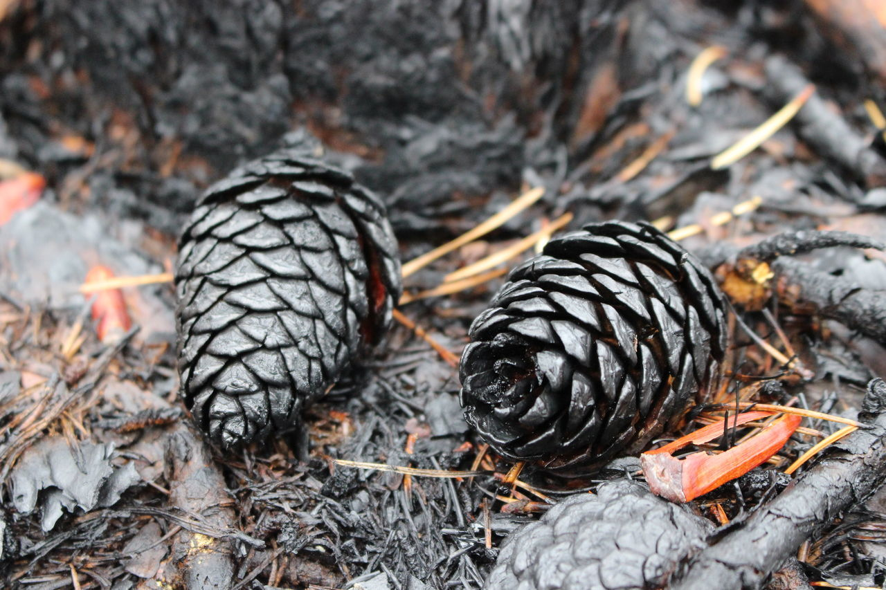 the Pine Barrens after a controlled burn. Burned Tree Burned Pinecone Dramatic Prescribed Fire Prescribedburn Forest Fire Burnt Trees