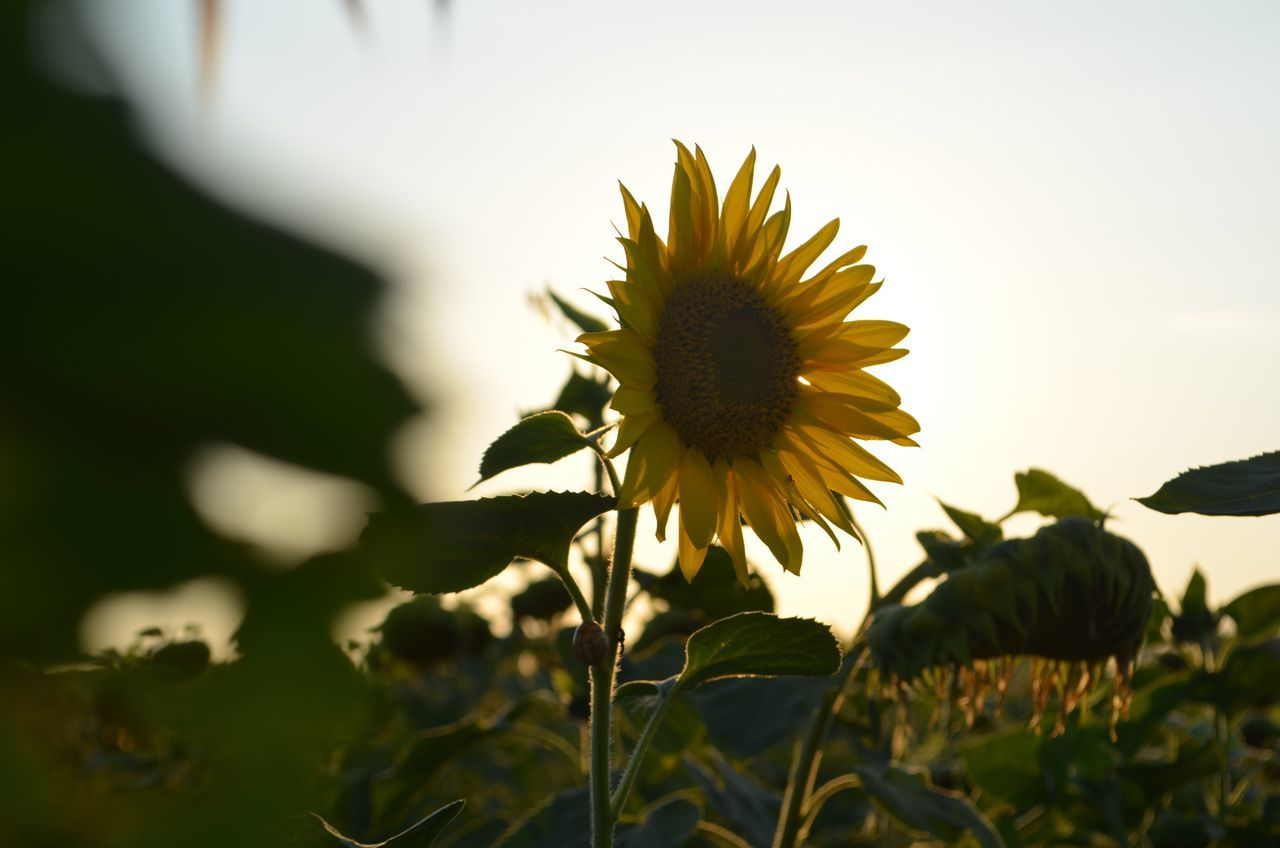 Flower Nature Fragility Petal Growth Beauty In Nature Flower Head Freshness Plant Yellow No People Day Blooming Outdoors Field Sunflower Sunlight Close-up Animal Themes Sky EyeEm Nature Lover Sunflower Nature Photography Summer