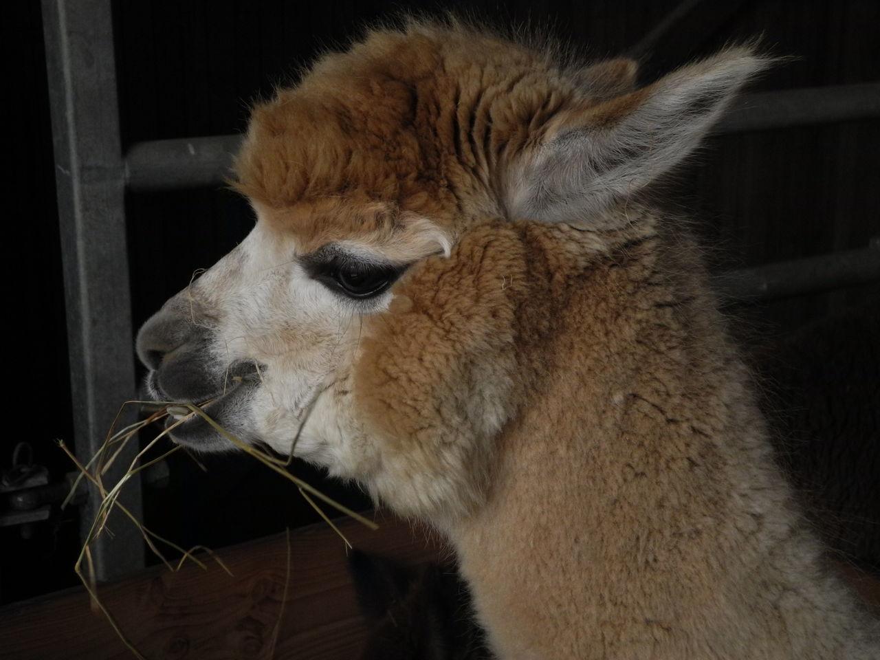 Arche de la nature Alpaca Animal Themes Close-up Grass Eater Indoors  Mammal One Animal