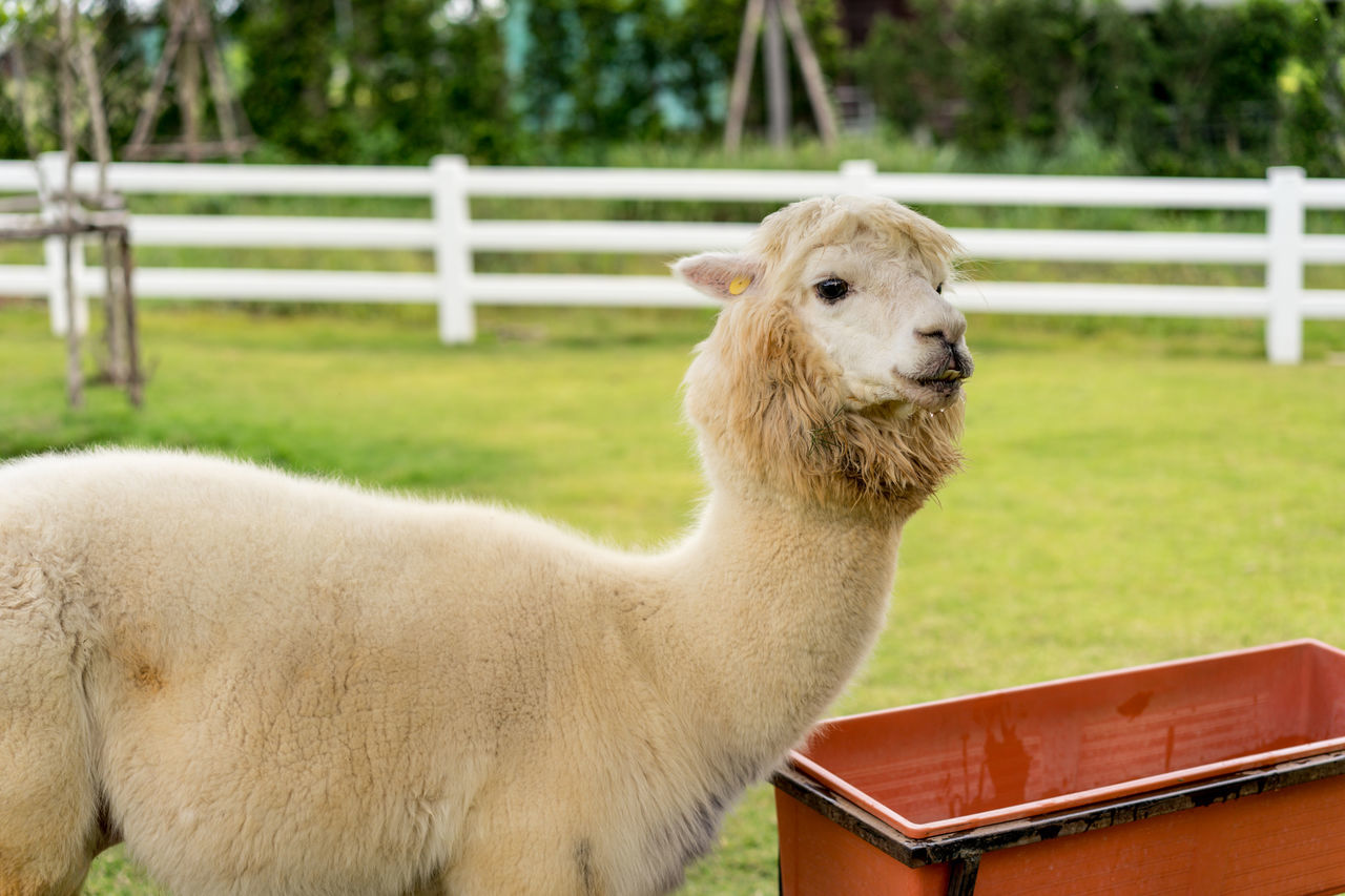 domestic animals, animal themes, mammal, livestock, one animal, grass, herbivorous, llama, green color, focus on foreground, alpaca, day, outdoors, no people, field, nature, sheep, portrait, close-up