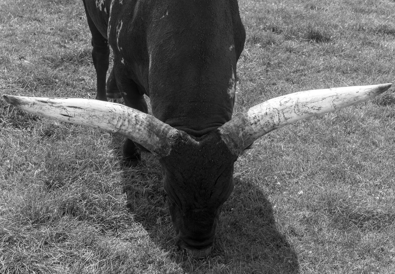 Horns Animal Themes Day Field Grass Grazing Cattle Long Horn Long Horns Mammal Nature No People One Animal Outdoors