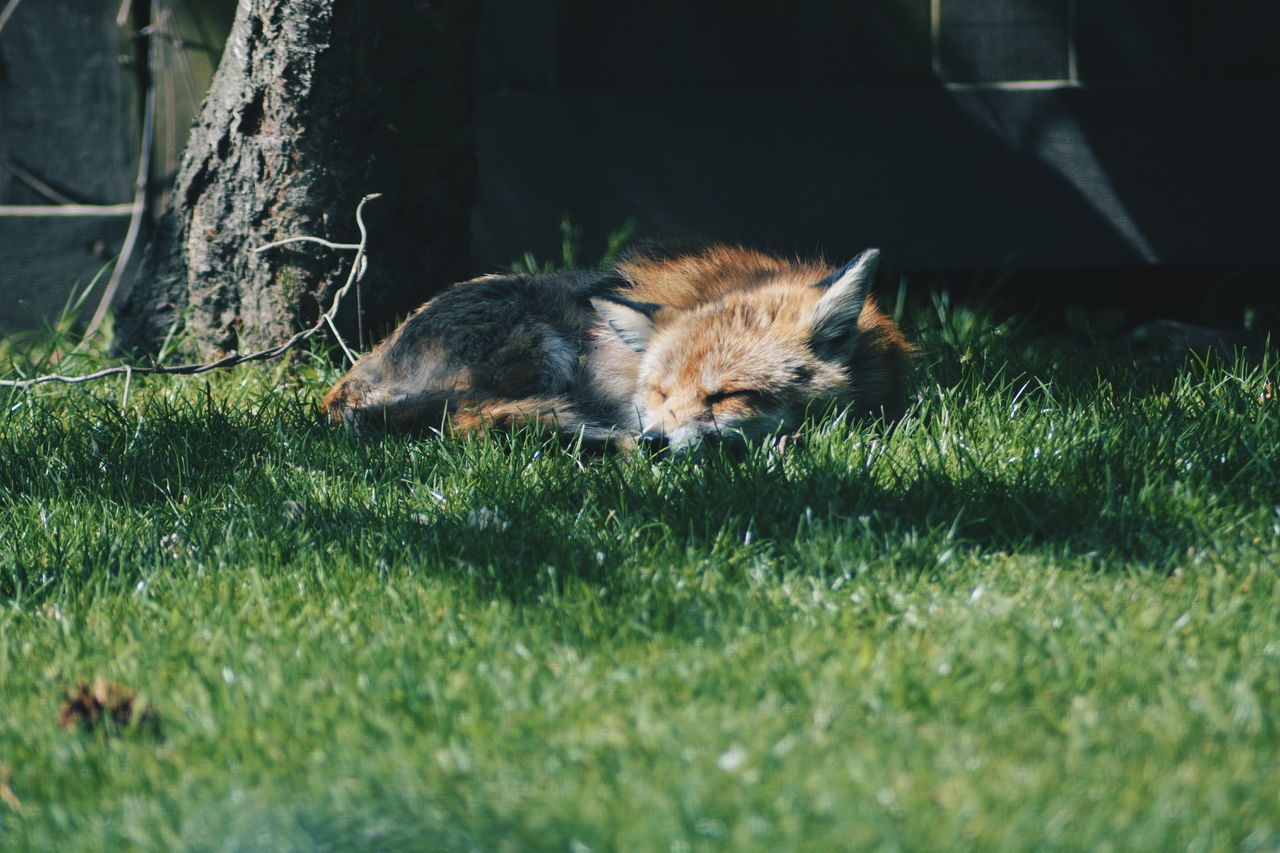 Animal Themes Close-up Day Fox Garden Grass Grass Lying Down Mammal Nature No People One Animal Outdoors Relaxation Relaxing Sleeping