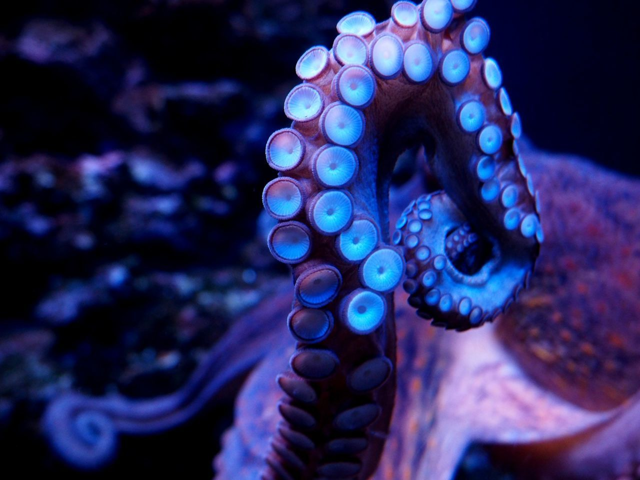 Beautiful stock photos of octopus, Animal Themes, Animals In The Wild, Close-Up, Focus On Foreground