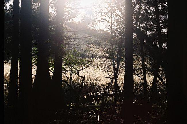 秋の入り口。 Film Photography Film Filmphoto Filmcamera Autumn Pampas Grass Tree Olympus Olympusom1n
