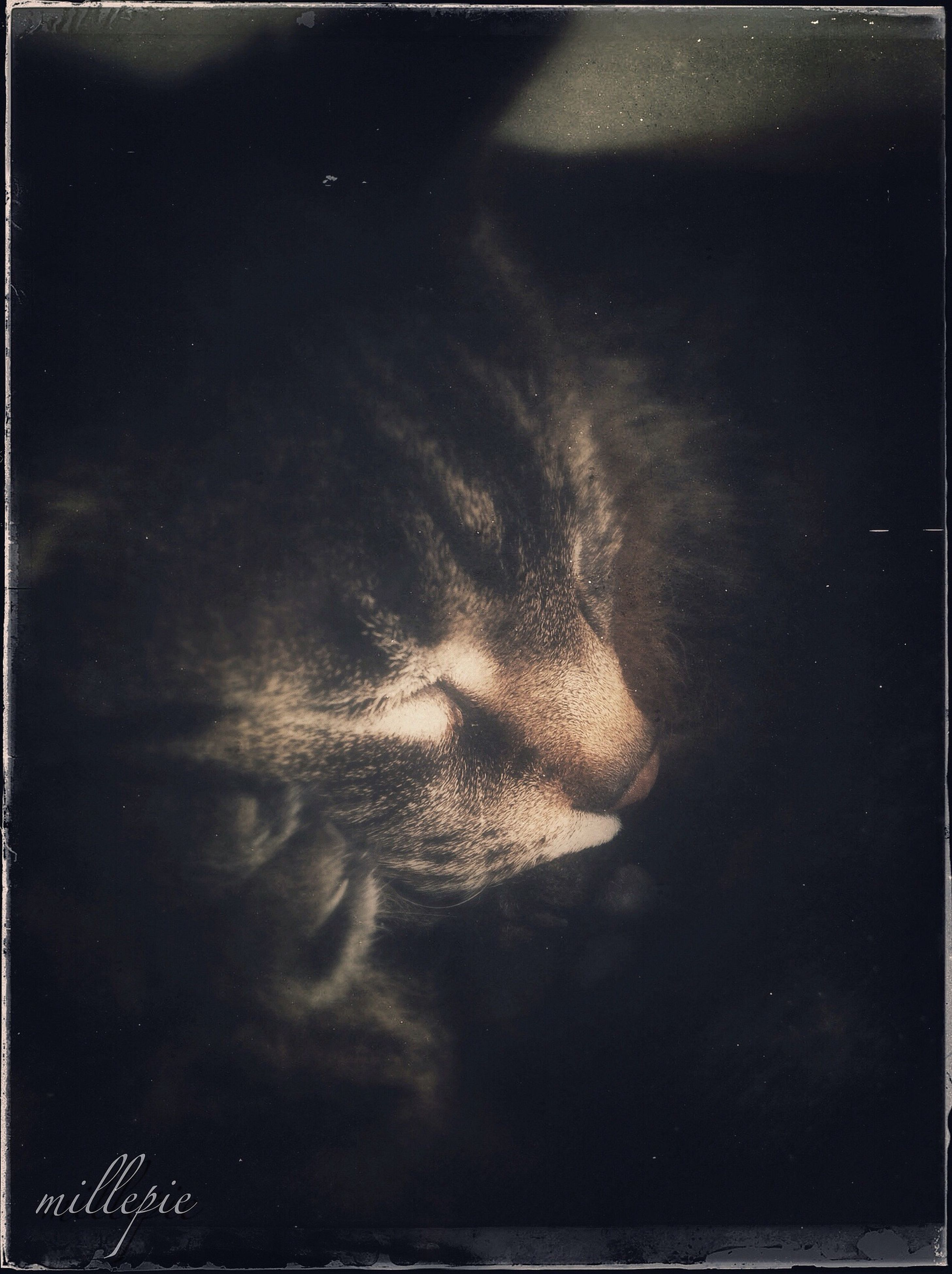 transfer print, auto post production filter, one animal, animal themes, mammal, domestic animals, close-up, pets, indoors, portrait, animal head, animal body part, looking at camera, black color, front view, no people, staring, headshot