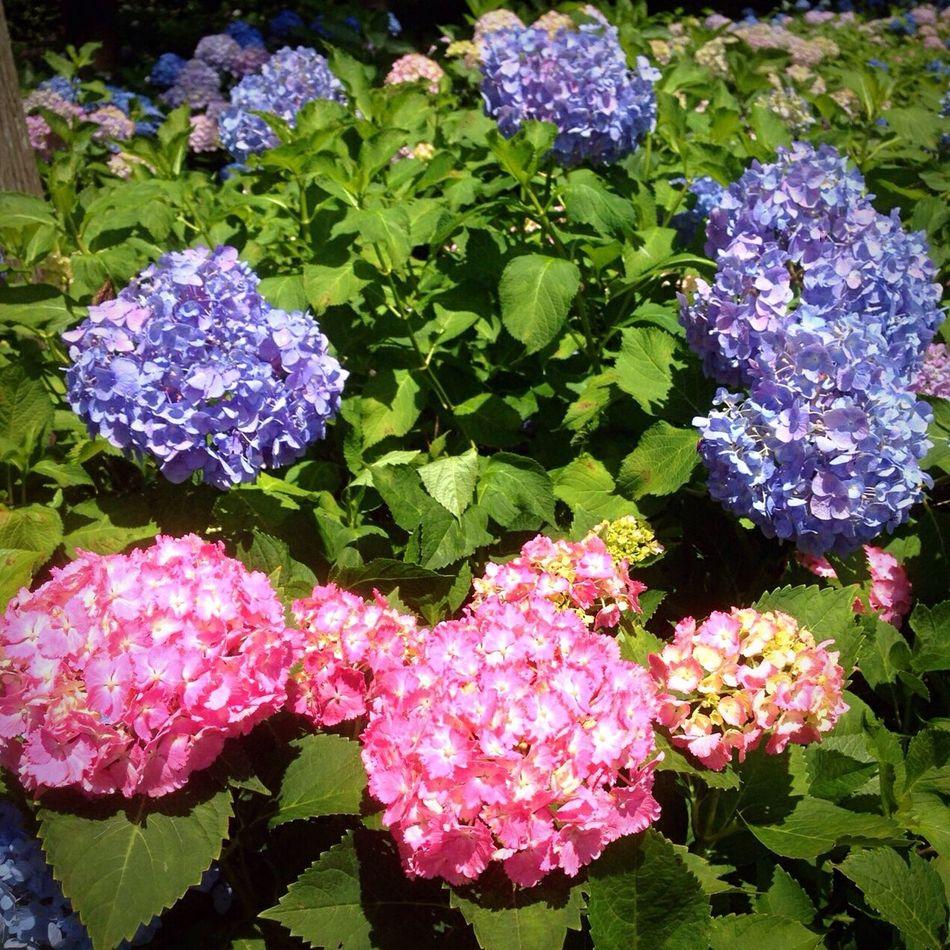 Kyoto Japan Temple Mimurotoji Uji Hydrangea Flower Today 京都 日本 寺 三室戸寺 紫陽花 花 今日