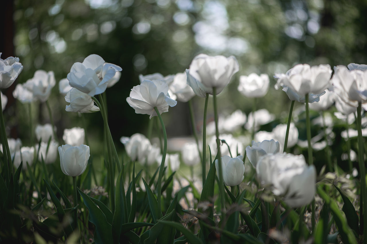 white tulips in the garden Art Beauty In Nature Blooming Close-up Day Field Flower Flower Background Flower Head Fragility Freshness Garden Gardening Growth Natural Light Nature No People Outdoor Outdoors Petal Plant Snowdrop Spring Melody White Color White Tulip