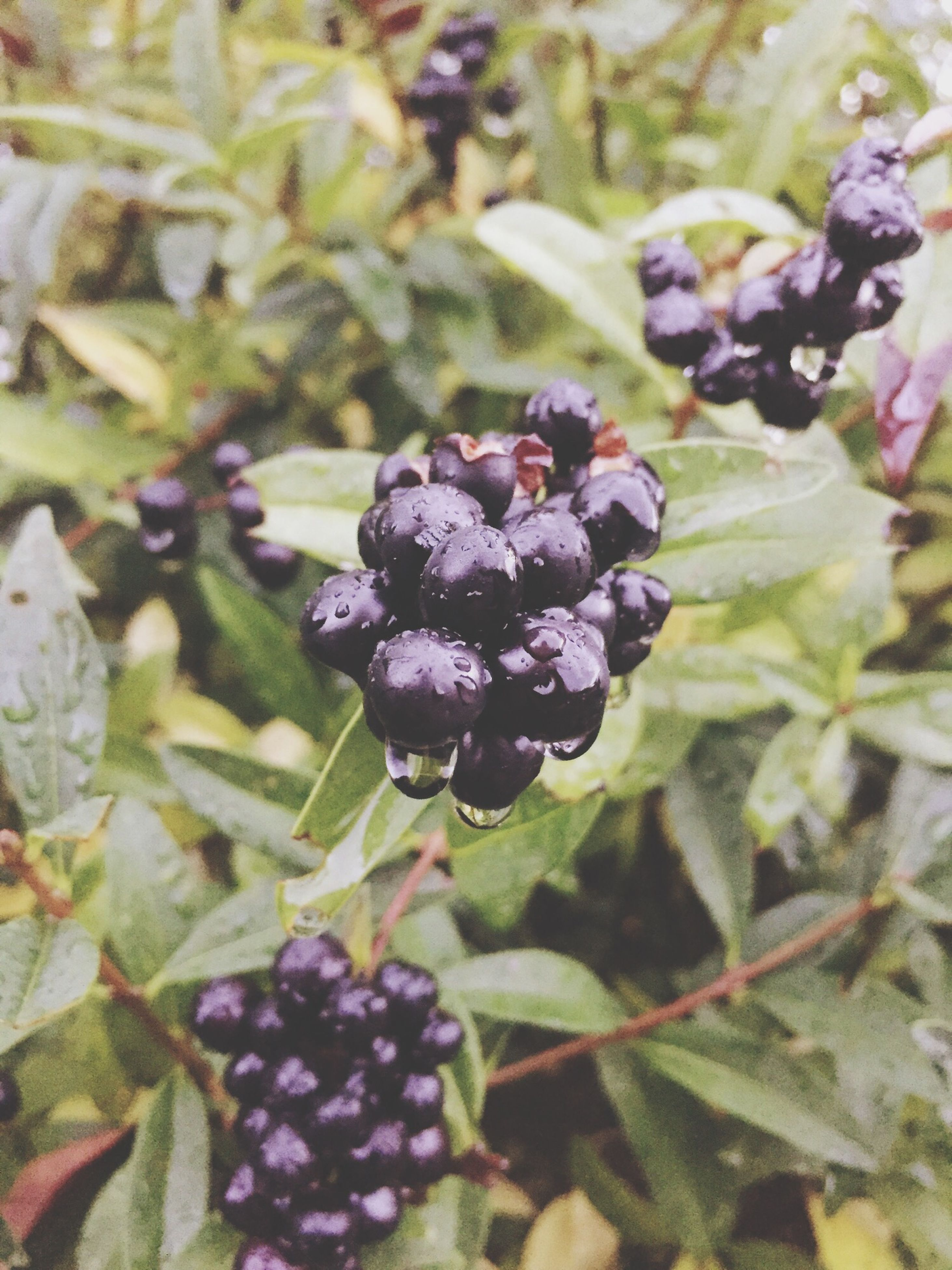 freshness, food and drink, fruit, growth, food, close-up, purple, flower, plant, beauty in nature, healthy eating, leaf, focus on foreground, nature, berry fruit, fragility, growing, no people, selective focus, bud