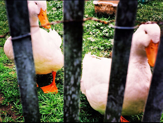 duck at my house, in San Francisco by Koduckgirl
