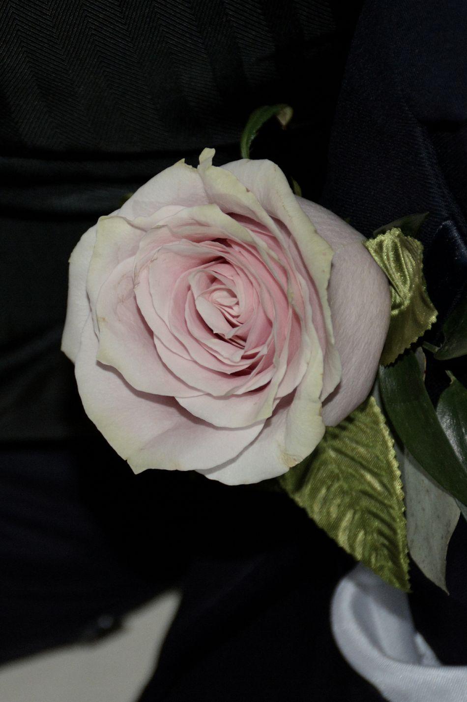 pink rose boutonniere Flower Rose - Flower Close-up Fragility Flower Head Black Background Pink Color Pink Full Frame Boutonniere Boutonniere Flower Wedding Groomsmen Groomsman Wedding Detail Bestman Best Man Wedding Flower Wedding Flowers