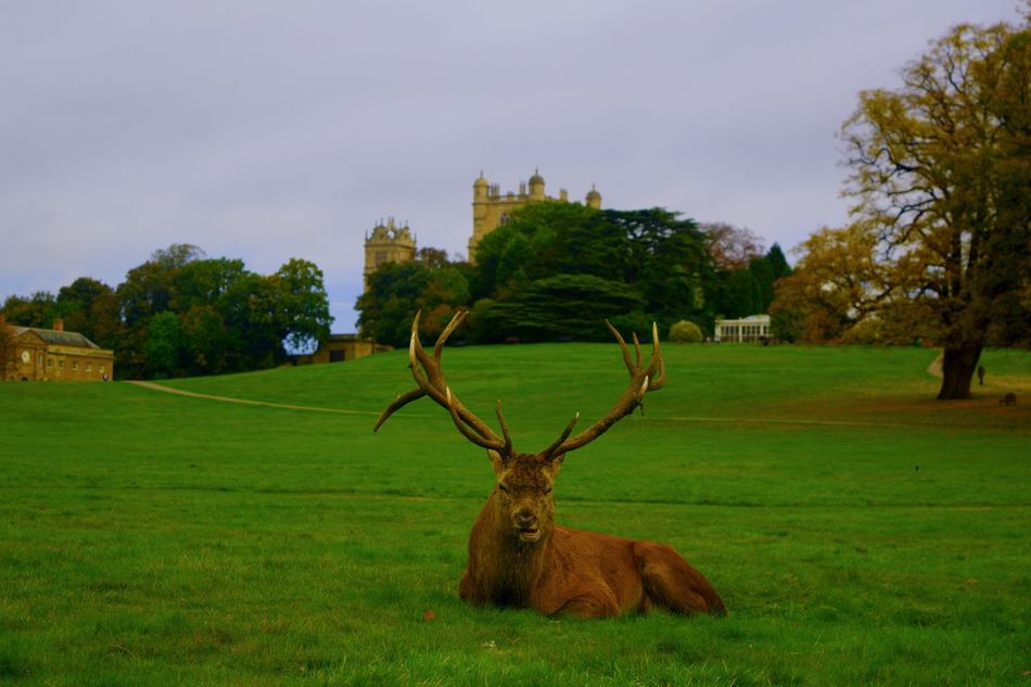 Grass Architecture Tree Sky One Animal Animal Themes Built Structure Building Exterior No People Green Color Nature Wollaton Hall Batman Deer Antler Outdoors Mammal