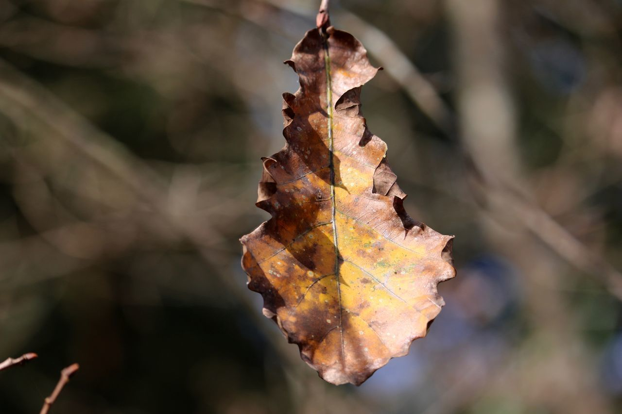 autumn, leaf, change, dry, focus on foreground, nature, outdoors, day, beauty in nature, close-up, no people, maple leaf, fragility, maple
