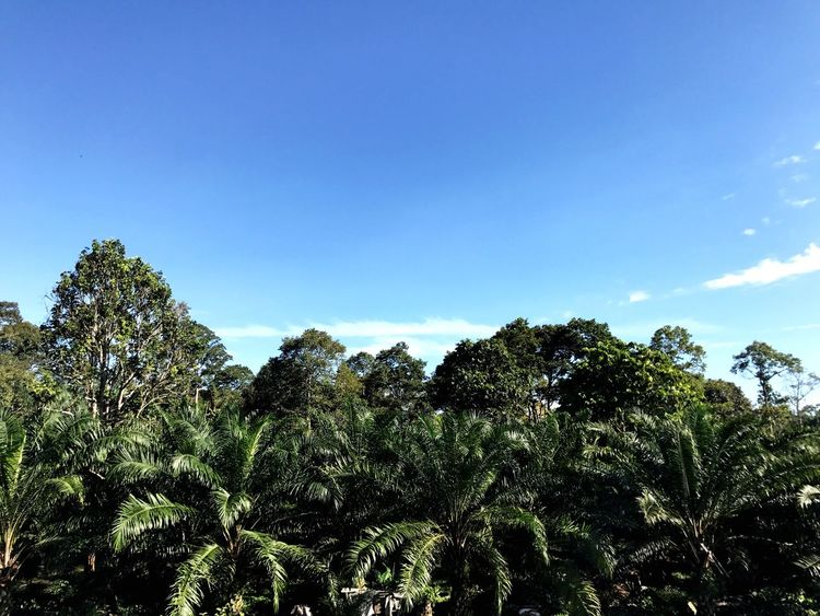 When green meets blue. Tree Nature Low Angle View Growth Blue Sky Day Beauty In Nature No People Scenics Tranquil Scene Green Color Tranquility Outdoors Forest Palm Tree Plant Clear Sky