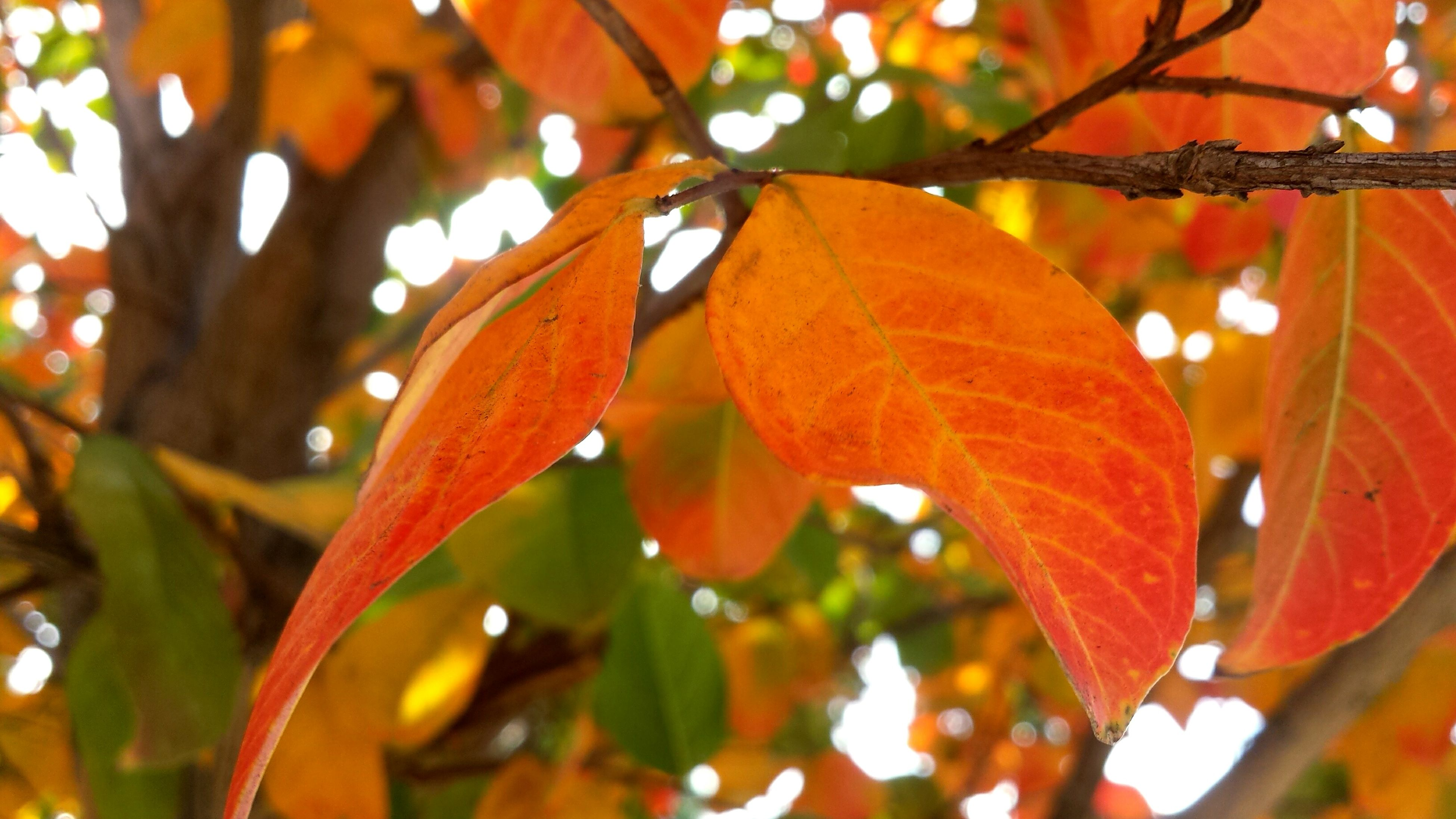 leaf, focus on foreground, growth, branch, close-up, nature, autumn, leaf vein, leaves, tree, orange color, season, change, beauty in nature, sunlight, selective focus, plant, twig, outdoors, day