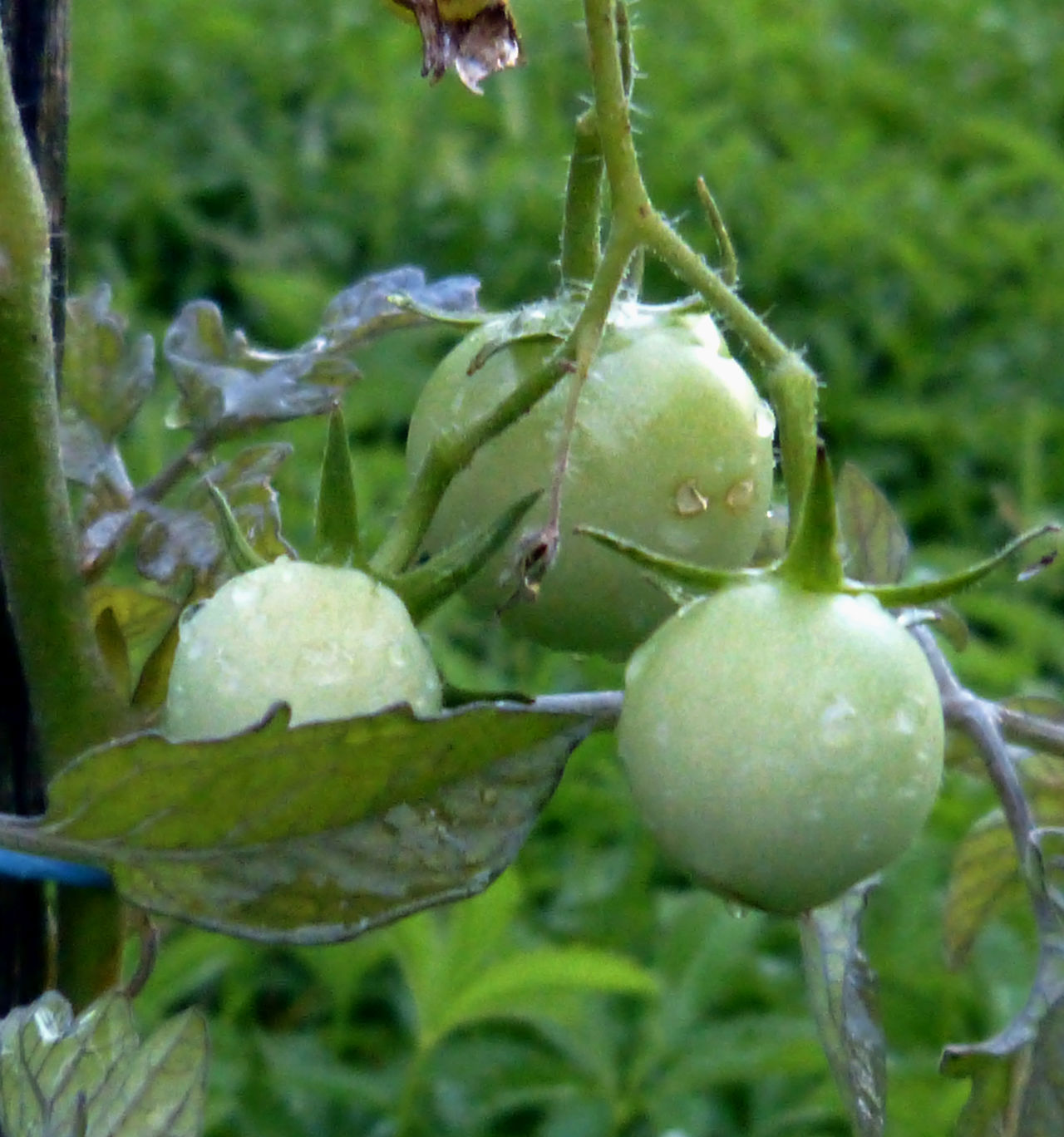 Close-up Day Food Freshness Green Color Green Tomatoes Growth Nature No People Plant