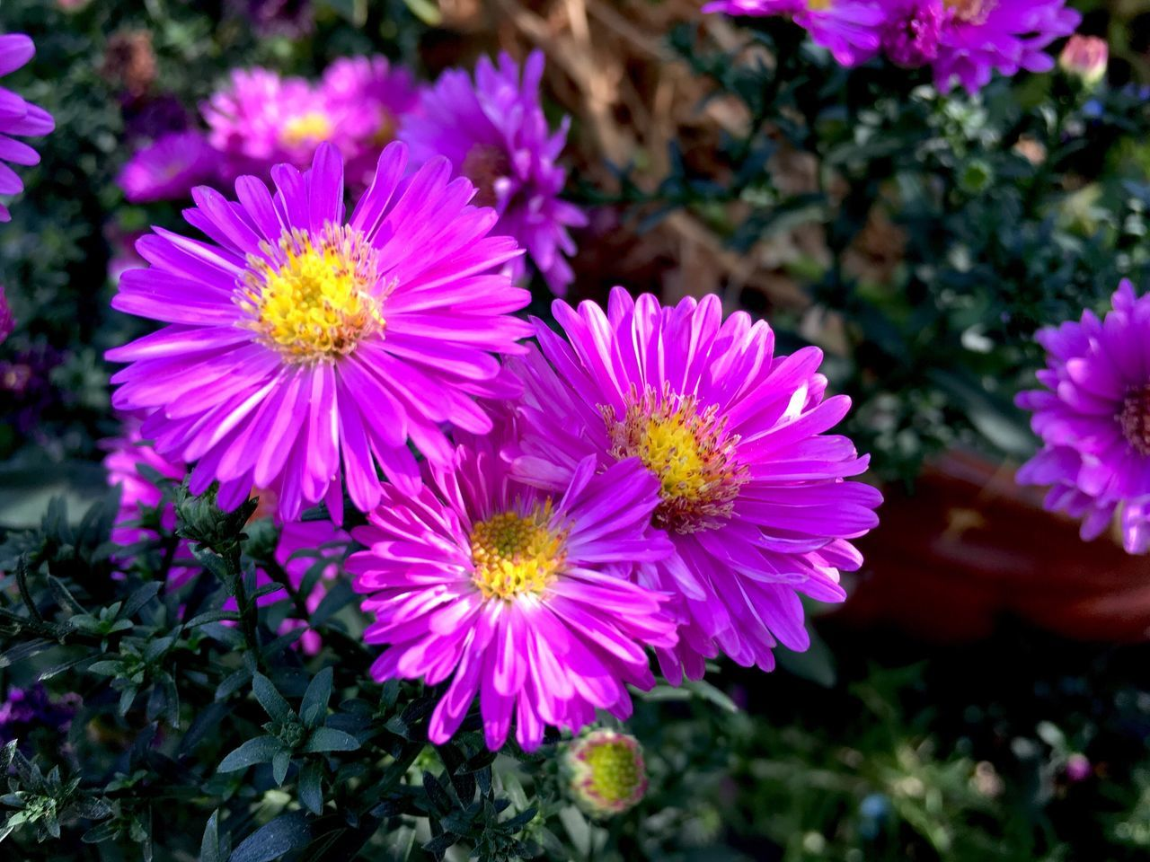 flower, petal, fragility, beauty in nature, freshness, nature, growth, flower head, plant, outdoors, day, blooming, pink color, close-up, no people