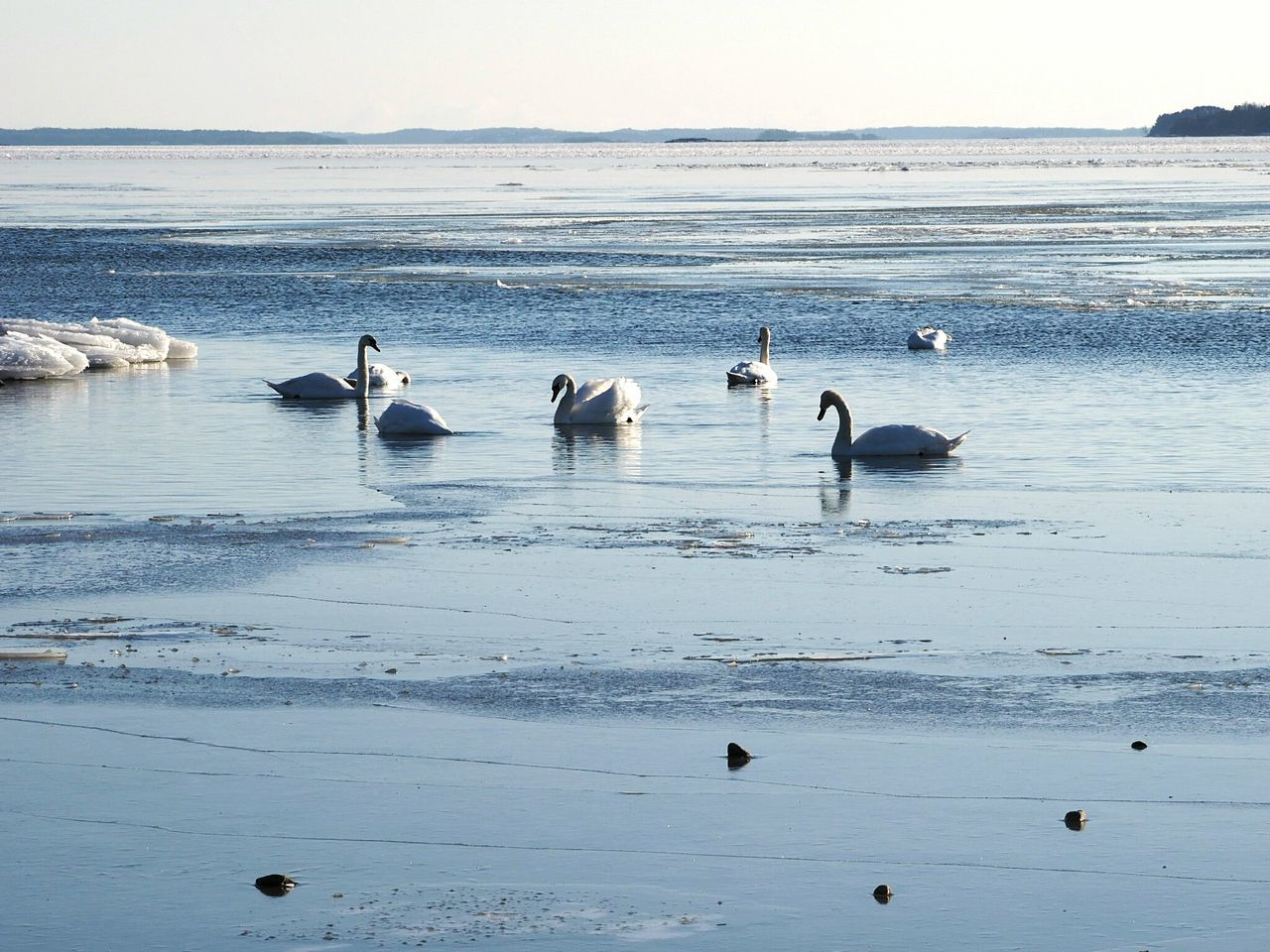 Sea Water Nature Bird Beauty In Nature Outdoors Sky Animal Wildlife Horizon Over Water Animals In The Wild Large Group Of Animals Winter Time Swans Swimming Cold Temperature Winter Nature Outside Frozen Sea Winter Bird Eating Animals In The Wild Animal Themes Bird Meetings