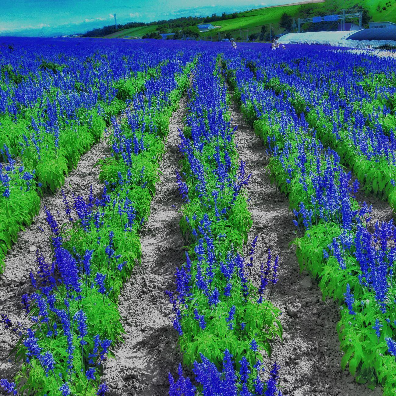 サルビア Nature Photography EyeEm Gallery EyeEm Masterclass EyeEm Best Shots Flowers Flower Collection Flowers,Plants & Garden Colorsplash Mypointofview 北海道 富良野