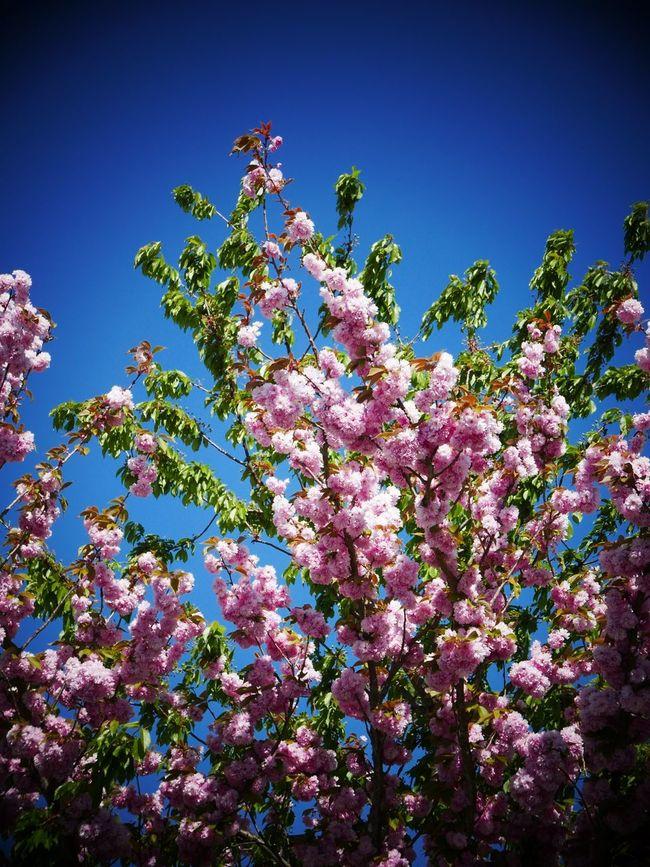 Japanese cherry tree Japanese Cherry Tree. Tree Cherry Tree Spring