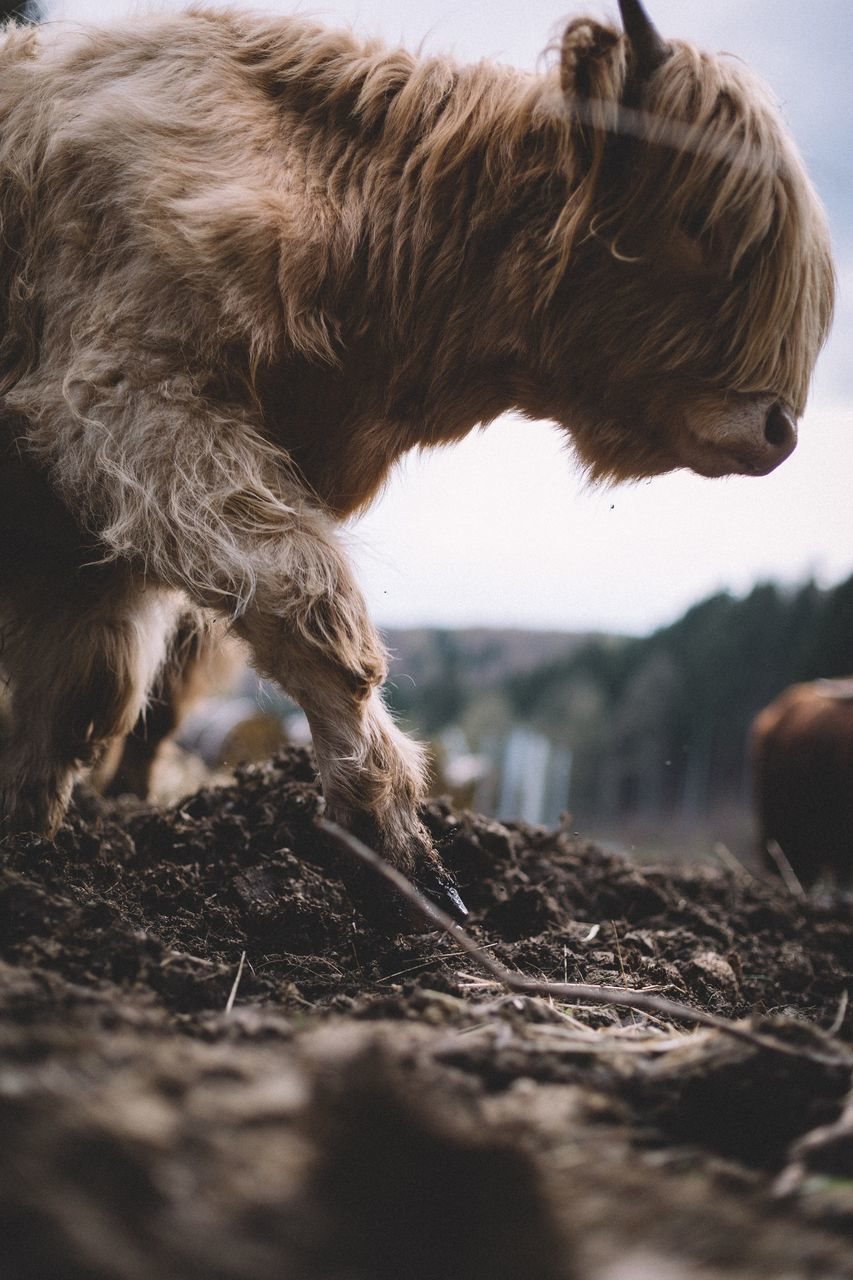 Side View Of Highland Cow Walking On Dirt Field