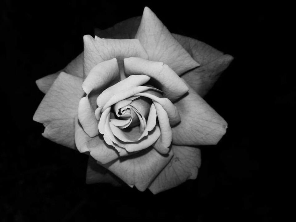 Monochrome Photography Botany Selective Focus Fragility Flower Head Softness Detail Dark Studio Shot Beauty In Nature Nature Dramatic Angles