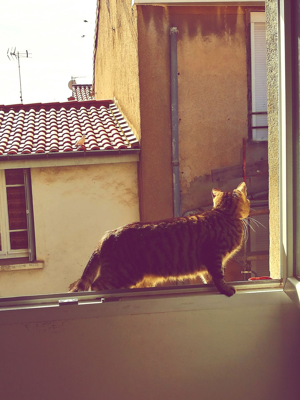 Cat Chat Chasse Animal Themes One Animal Domestic Cat Pets Window No People Domestic Animals Feline Tabby Cat Curieux Explorateur