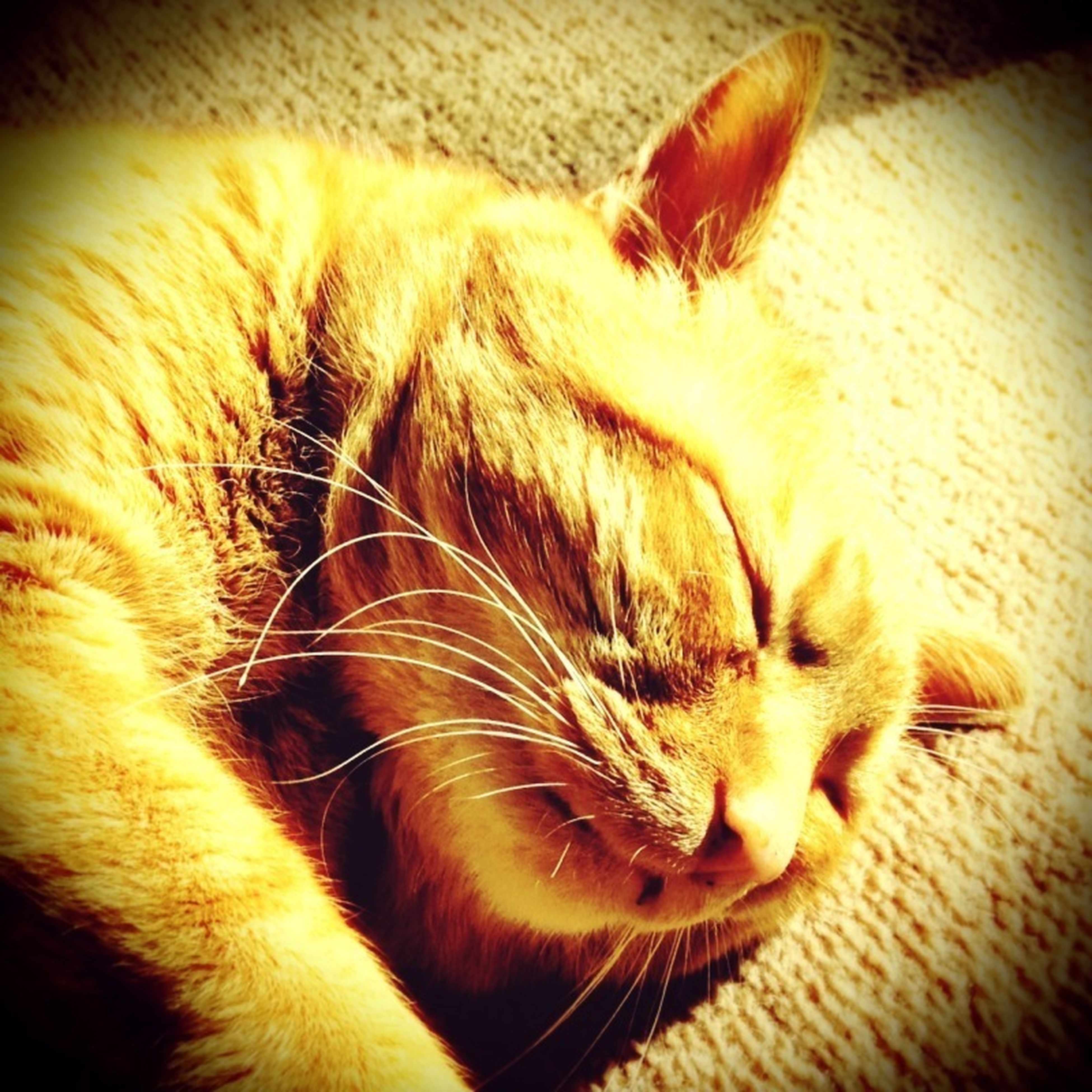 one animal, animal themes, domestic cat, pets, domestic animals, cat, mammal, indoors, feline, whisker, close-up, relaxation, animal head, animal body part, sleeping, resting, lying down, eyes closed, zoology, part of