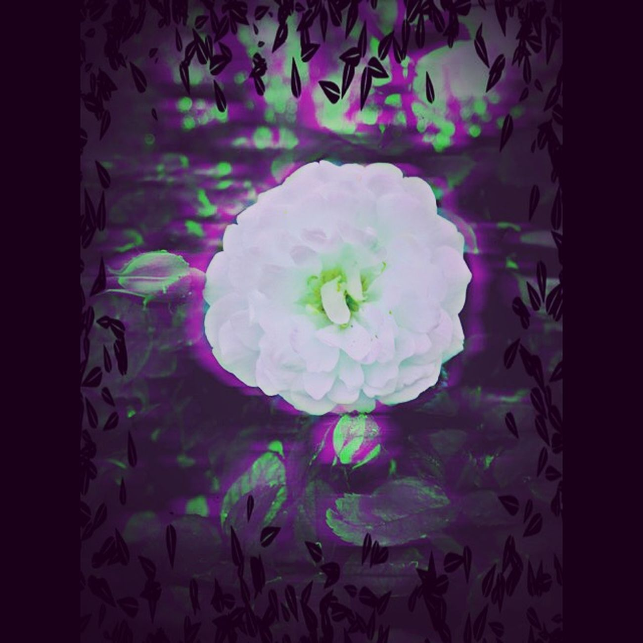 Lost in Wonderland Iphone 6 IPhoneography Iphoneedit Iphoneediting Floral Fantasy Roses Garden Nature Purple And Green