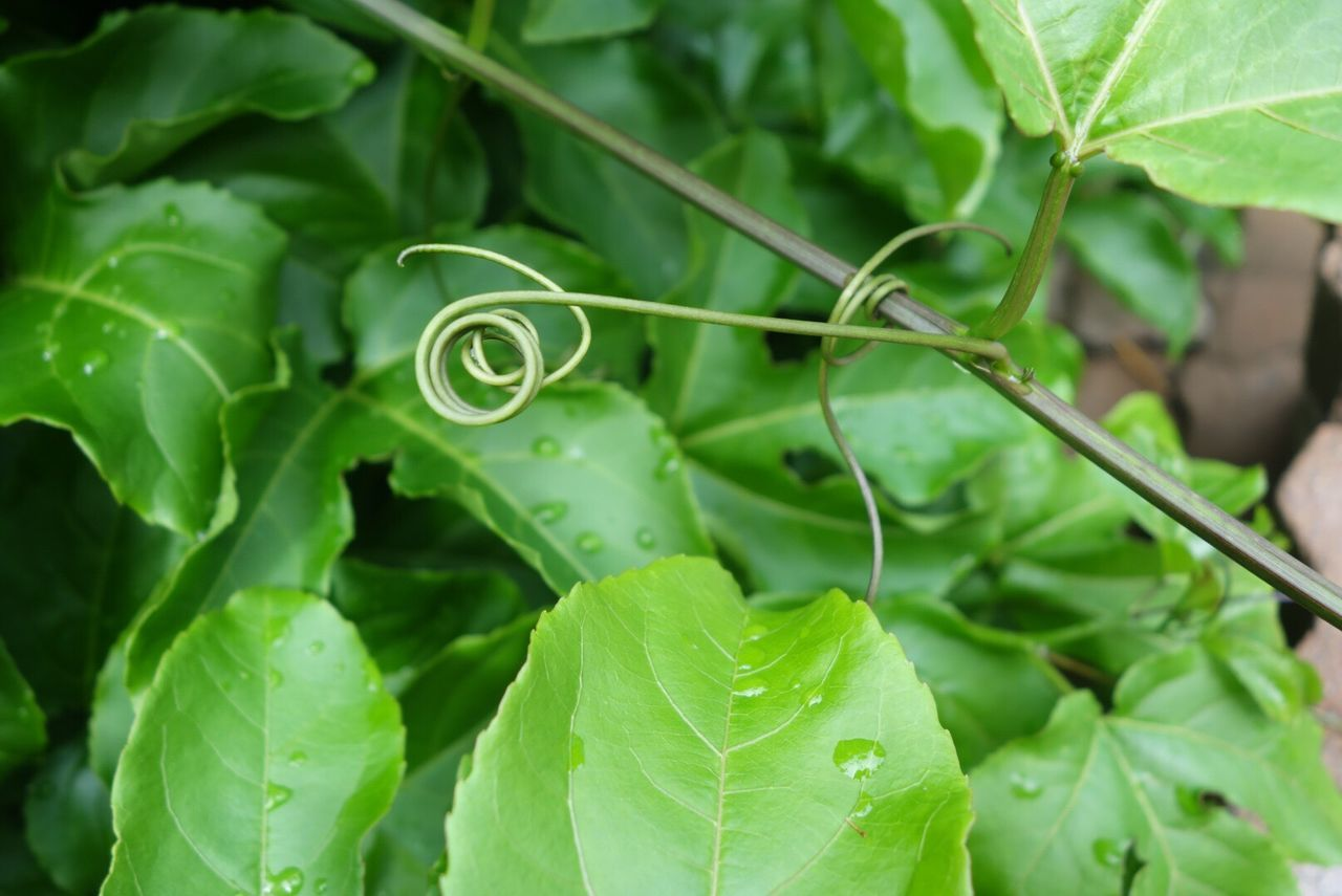 Passionfruit vine and tendrils after the rain Leaf Green Color Plant Nature Growth Beauty In Nature Close-up Freshness Tendril Natural Pattern Leaves Tendril Green Growing Freshness Curled Up Spiral Raindrops