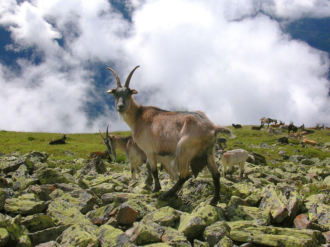 Beautiful stock photos of goat, Adventure, Animal, Challenge, Cloudy