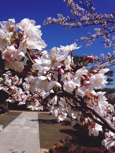 Teramachi Dori Sakura