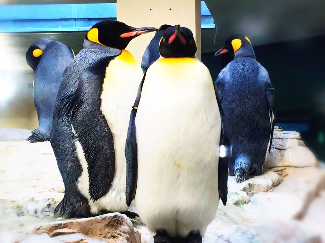Beautiful stock photos of penguin, Animal Behavior, Animal Themes, Austria, Bird