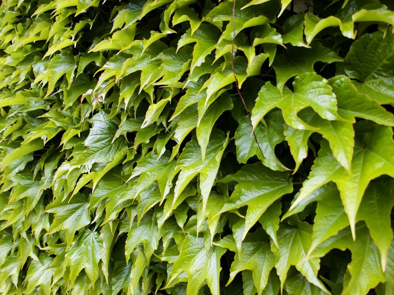 Backgrounds Close-up Day Full Frame Green Color Green Wall Growth Hedge Leaf Nature No People Outdoors Plant