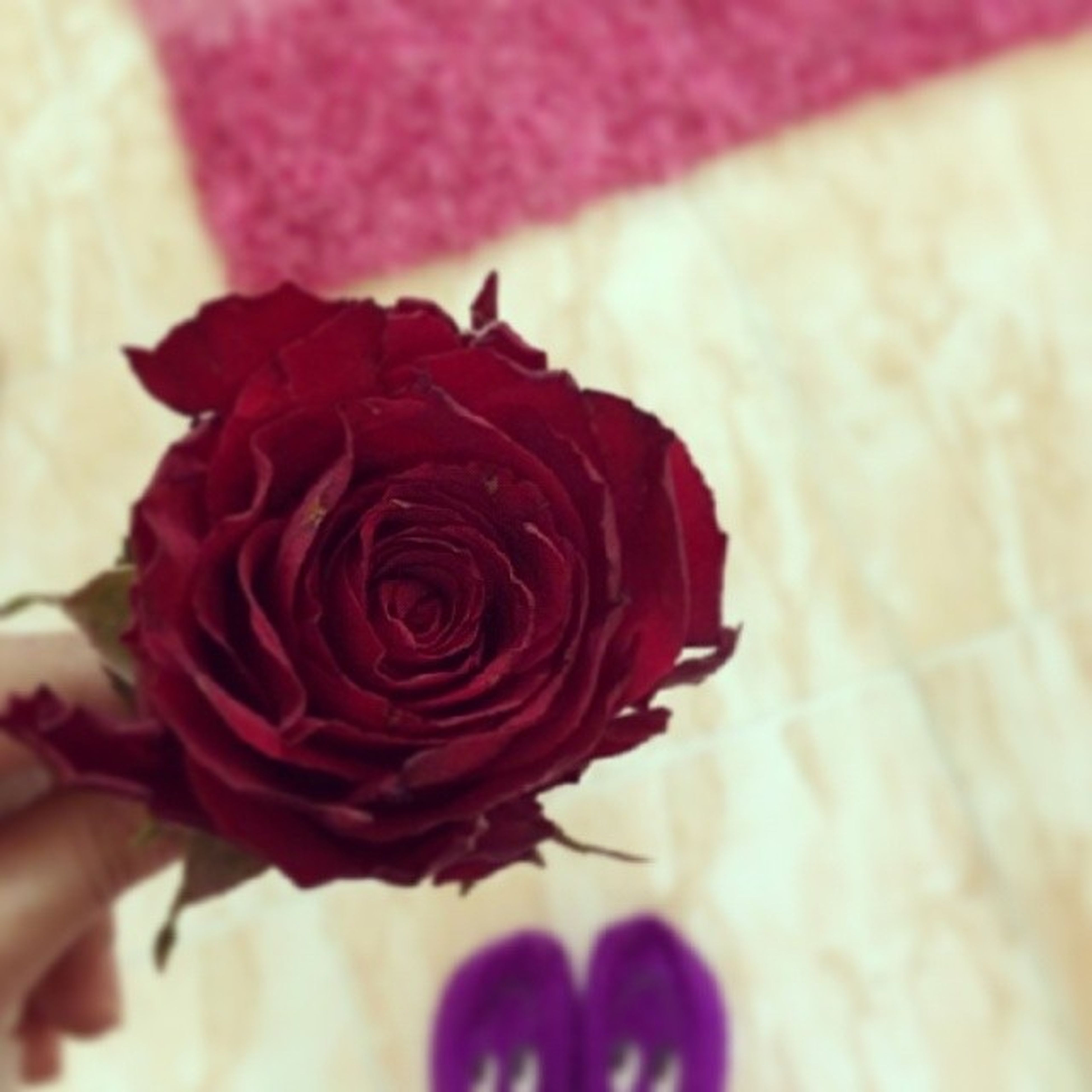 flower, petal, rose - flower, flower head, close-up, fragility, pink color, indoors, red, focus on foreground, single flower, freshness, rose, beauty in nature, selective focus, nature, softness, wall - building feature, part of, no people