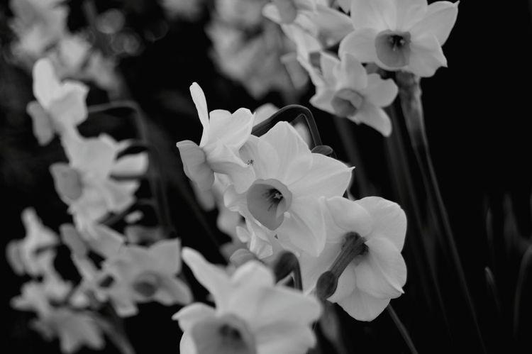 Flower Flowers,Plants & Garden Flower Photography Flowers :) Nature Blackandwhite Bianconero Sardegnanatura Vintage Photo Vintage Nikonphotography Black Background Beautiful ♥