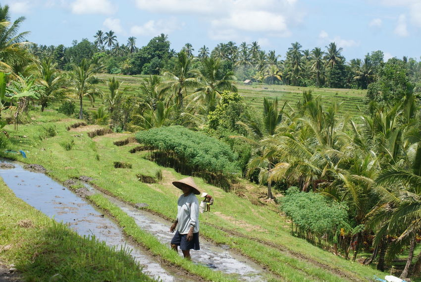 Agriculture Bali Green Nature Rice Field Rice Paddy
