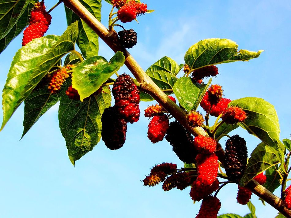 Berrys Fruit Growth Low Angle View Nature Red Beauty In Nature Delicious Spring No People Close-up Day Outdoors Branch Tree Freshness EyeEmNewHere Healthy Eating Healthychoices Sky Backgrounds Blooming Environment