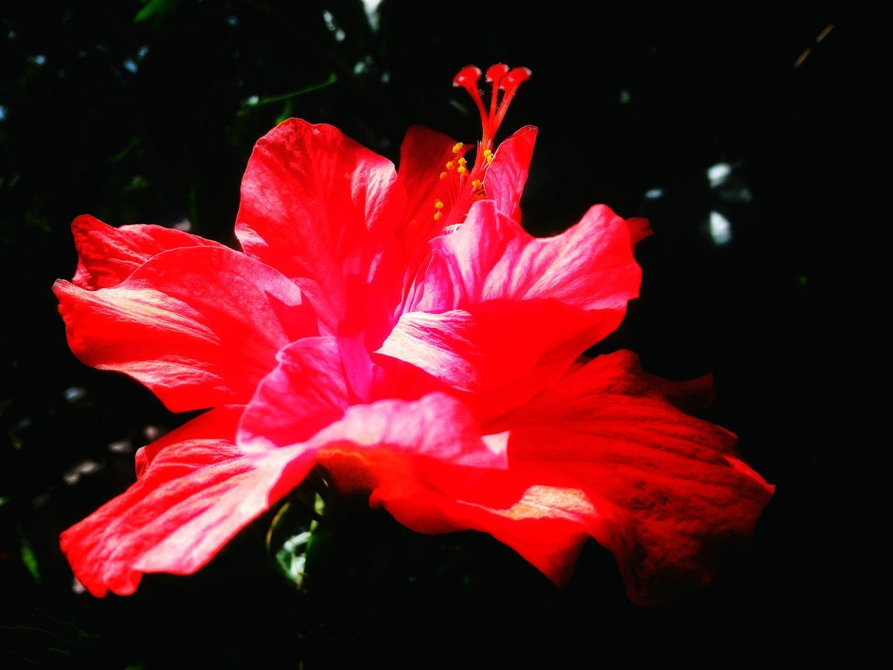 Red Fragility Growth Petal Nature Close-up Plant Flower Flower Head No People Outdoors Freshness Bokehlicious Tranquility Original Experiences My Point Of View Master Class Getting Inspired Artistic Expression My Unique Style Beauty In Nature Focus On Foreground The Week Of Eyeem Hibiscus 🌺 Hybiscus Beauty